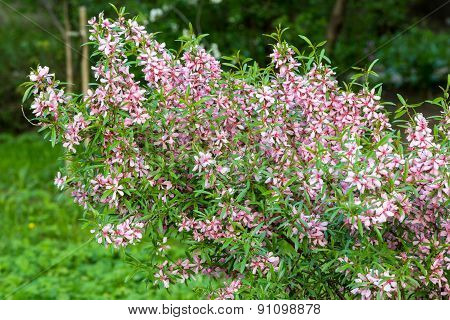 Pink Flowering Shrub
