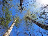 image of birching  - Three birch trees on the background of the spring sky  - JPG