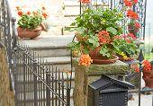 stock photo of geranium  - photo of a flowers of geranium inside a balcony - JPG