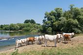 stock photo of charolais  - River the Doubs in the western of France with cattle Charolais cows - JPG