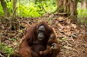 picture of orangutan  - Mother orangutan holding her baby in Borneo forest Indonesia ** Note: Visible grain at 100%, best at smaller sizes ** Note: Soft Focus at 100%, best at smaller sizes - JPG