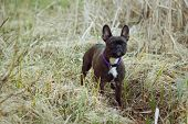 stock photo of tall grass  - Black and white Terrier dog outside in tall grass and reeds - JPG