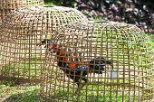 image of fighting-rooster  - Outdoor Thai gamecock in the coop - JPG