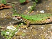 stock photo of lizards  - Green lizard enjoying the photography in the spring sunshine - JPG