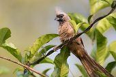 image of vines  - Speckled mousebird  - JPG