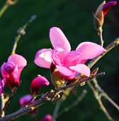 picture of magnolia  - Blooming pink magnolia flowers in spring in the evening sunlight - JPG