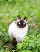 image of siamese  - beautiful fluffy Siamese cat in the green - JPG