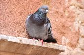 stock photo of pigeon  - Close up of a wild pigeon in Venice Italy - JPG