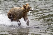 foto of mating bears  - A male grizzly bear has successfully caught a salmon and racing from the scene to avoid sharing his feast - JPG