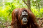 image of orangutan  - Wild female orangutan in Borneo forest of Indonesia  - JPG