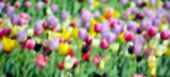 stock photo of plant species  - Blur tulips field is a perennial - JPG