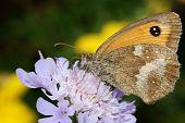 pic of gatekeeper  - Gatekeeper Butterfly Pyronia tithonus on a purple scabious flower - JPG