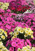 pic of greenhouse  - Background Flowers Potunia In The Great Greenhouse - JPG