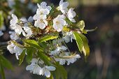 pic of tree-flower  - Apple tree flowers-spring tree flowers in sunny day ** Note: Soft Focus at 100%, best at smaller sizes - JPG