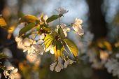 foto of tree-flower  - Apple tree flowers - JPG