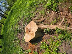 image of cutting trees  - Stump of the cut tree on the edge of the forest with wide angle view - JPG