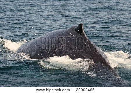 Humpback Whale Diving Near St Lucia South Africa