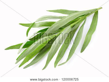 Tarragon leaves in closeup