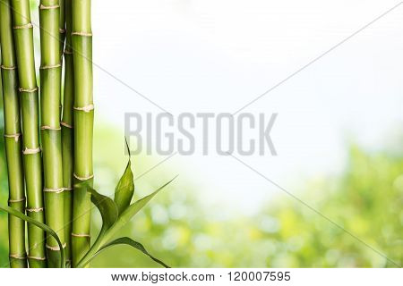 Bamboo Shoot.