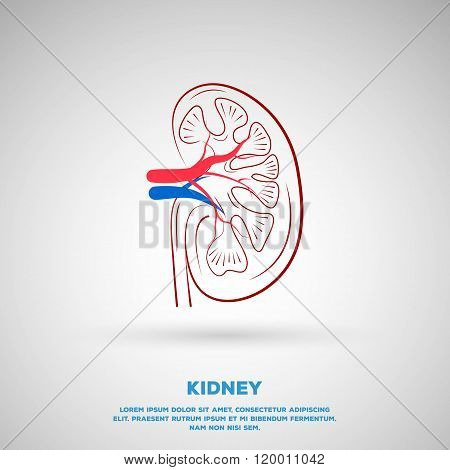 Outline Kidney illustration. Template design for school, hospitals or your design.