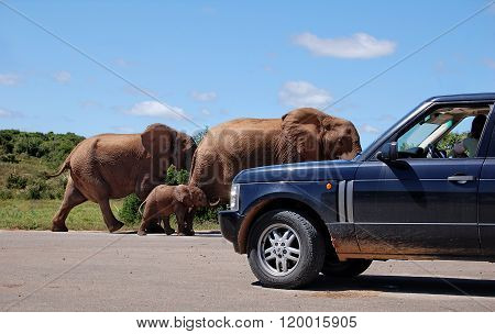 Meeting with walking elephants on a road