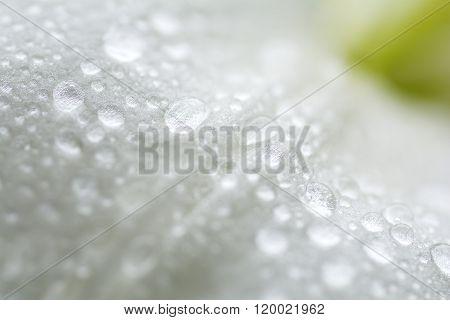 Close up lily petal