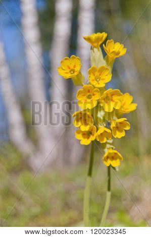 Cowslip (primula Veris) In Flower