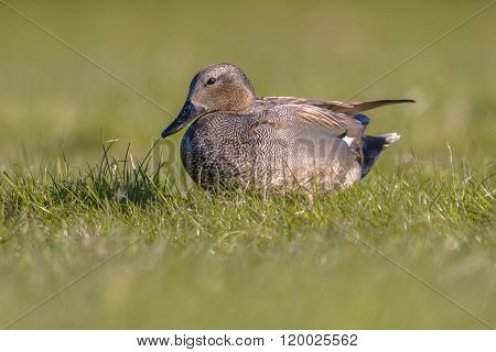 Male Gadwall In Grassland