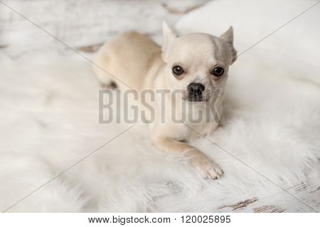 Cute Chihuahua Dog Sits On White Carpet In Room, Indoors, Sweet Home