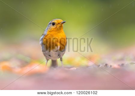 Curious Red Robin