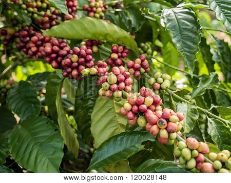 Coffee Seeds In A Plantation, Chumphon.