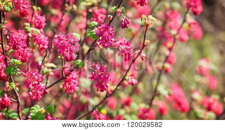Flowers Of The Ribes Sanguineum