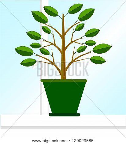 Ficus on the windowsill