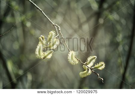 Spring Background -yellow Buds Of Goat Willow With Tones Processing