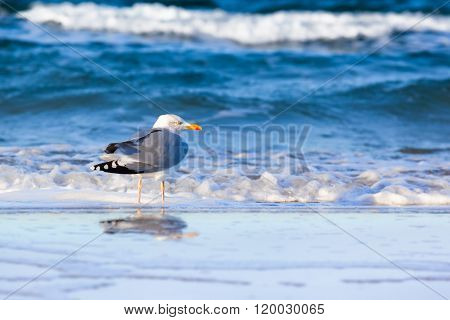 Seabird walk at the blue waves of baltic sea and reflection at the water surface