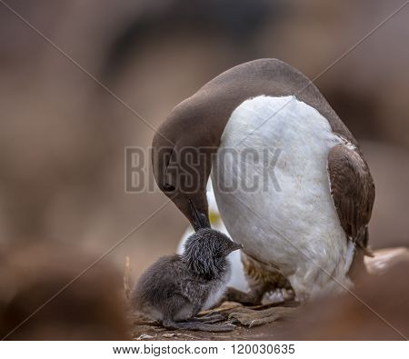 Common Guillemot Nursing Chick