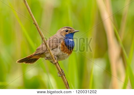 Male Bluethroat Reed