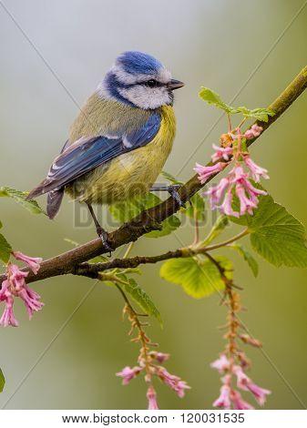 Blue Tit Blossom Stick