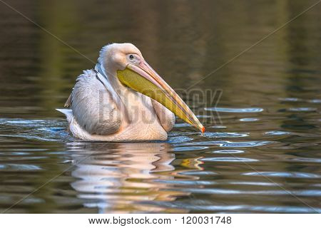 Great White Pelican Sidelook
