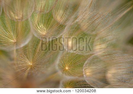 Dandelion Seed Spring Background