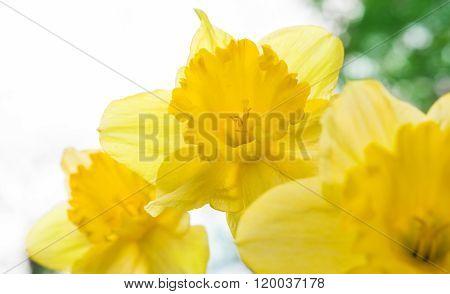 Daffodils, Bokeh