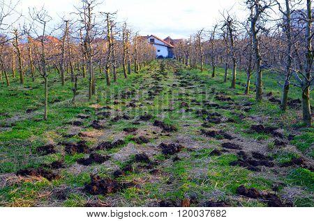 Organic fertilization of an apple orchard