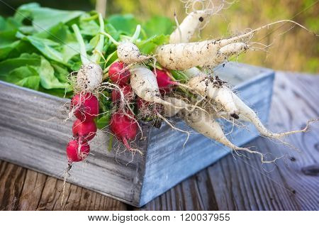 Radishes In Wooden Box