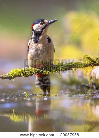 Woodpecker Water Reflection