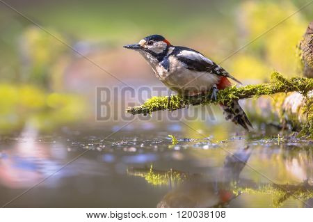 Woodpecker Reflection