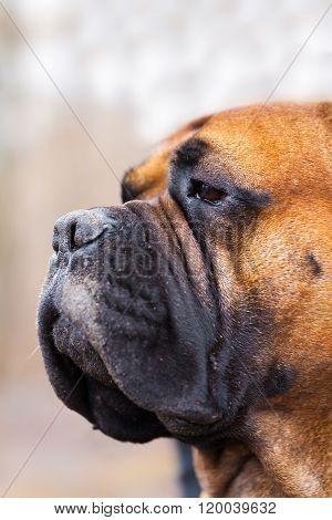 Portrait Of English Mastiff