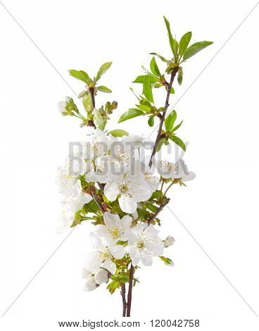 Cherry in blossom isolated on white.  Selective Focus.