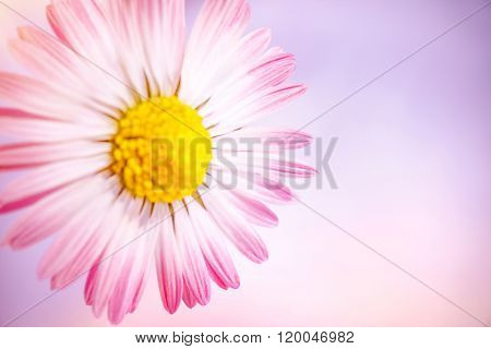 Closeup photo of beautiful gentle pink daisy flower over pink background, abstract floral border, fresh greeting card for mother's day