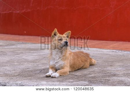 Stray Dog Is Breed Native In Thailand