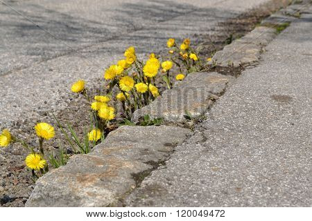 Coltsfoot On The Roadside